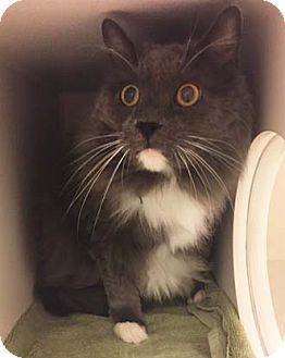 Domestic Mediumhair Cat for adoption in Merrifield, Virginia - Kyuss