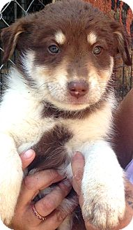 Husky/Bernese Mountain Dog Mix Puppy for adoption in Thousand Oaks, California - Kole
