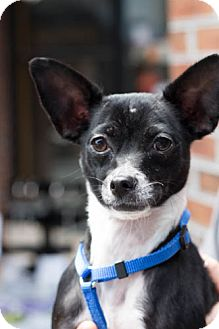 Chihuahua Mix Dog for adoption in Smyrna, Georgia - Ella