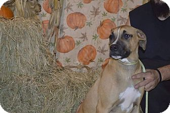 American Staffordshire Terrier Mix Puppy for adoption in Lima, Ohio - Eros *PENDING*
