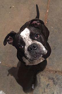 English Bulldog/Boxer Mix Dog for adoption in Long Beach, California - Brandy