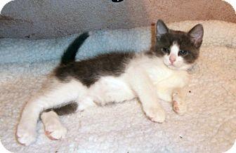 Domestic Shorthair Kitten for adoption in Fort Worth, Texas - Hawkeye