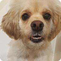 Adopt A Pet :: Huey - La Mirada, CA