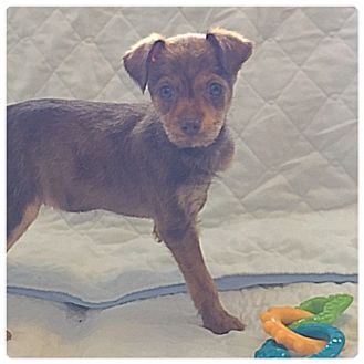 Terrier (Unknown Type, Small) Mix Puppy for adoption in Powder Springs, Georgia - Maxie