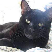 Adopt A Pet :: Shadow - Portland, ME