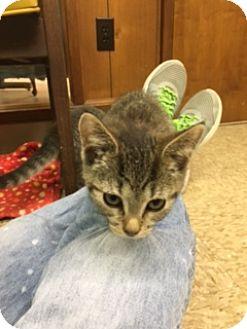 Domestic Shorthair Kitten for adoption in Medina, Ohio - Rose