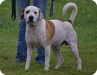 Pointer Mix Dog for adoption in Lebanon, Missouri - Yoda