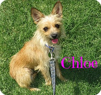 Yorkie, Yorkshire Terrier Mix Dog for adoption in Scottsdale, Arizona - Chloe