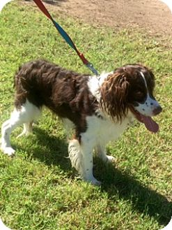 English Springer Spaniel Mix Dog for adoption in Phoenix, Arizona - Freckles