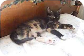 Domestic Shorthair Cat for adoption in Vacaville, California - Blaze