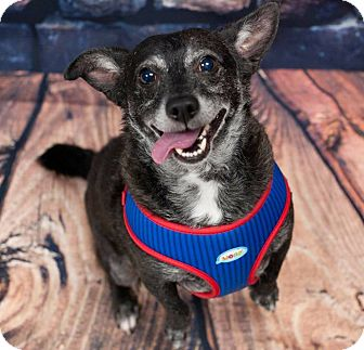 Corgi/Dachshund Mix Dog for adoption in Oakley, California - Sammy