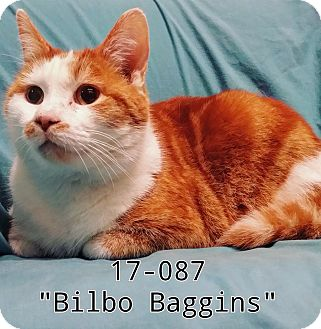Domestic Shorthair Cat for adoption in Cannelton, Indiana - Bilbo Baggins