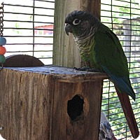 Adopt A Pet :: Cheekie - Christmas, FL