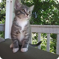 Domestic Shorthair Kitten for adoption in Arlington, Virginia - Gilligan -G-Group Kittens