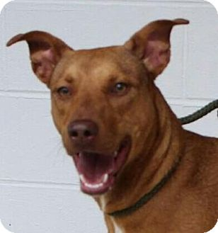 Shepherd (Unknown Type)/Hound (Unknown Type) Mix Dog for adoption in Allentown, Pennsylvania - Lucy