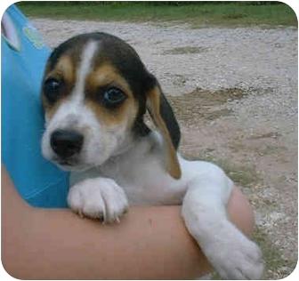 Beagle/Terrier (Unknown Type, Small) Mix Puppy for adoption in Katy, Texas - Dakota