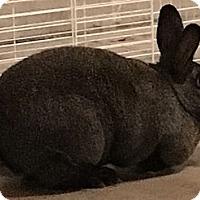 Adopt A Pet :: Adrian - Portland, ME
