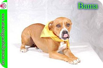 Pit Bull Terrier Mix Dog for adoption in Pensacola, Florida - Bama