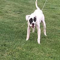 Boxer/Labrador Retriever Mix Puppy for adoption in Sharon Center, Ohio - Kino