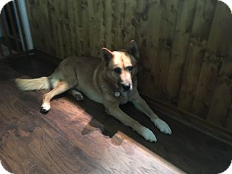 German Shepherd Dog/Husky Mix Dog for adoption in Winsted, Connecticut - Melvin