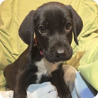 Labrador Retriever/Hound (Unknown Type) Mix Puppy for adoption in CUMMING, Georgia - Ike