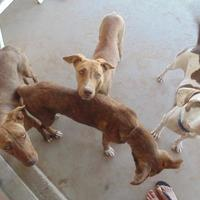 American Staffordshire Terrier/Shepherd (Unknown Type) Mix Dog for adoption in Las Cruces, New Mexico - Mocha