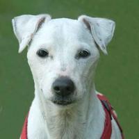 Adopt A Pet :: Joey - Glen Allen, VA