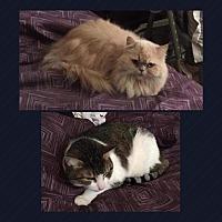 Adopt A Pet :: Chichi - Monroe, NY
