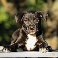 Adopt A Pet :: Zeus - Sarasota, FL