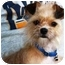 Photo 1 - Yorkie, Yorkshire Terrier/Brussels Griffon Mix Dog for adoption in Osseo, Minnesota - Bella