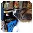 Photo 4 - Border Collie/Labrador Retriever Mix Puppy for adoption in No.Charleston, South Carolina - Piper