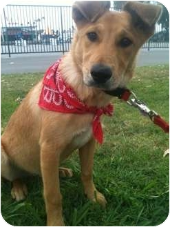 Labrador Retriever Mix Puppy for adoption in El Cajon, California - ERNIE