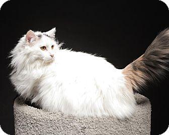 Domestic Longhair Cat for adoption in Rock Springs, Wyoming - Marsha