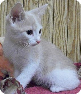 Domestic Shorthair Kitten for adoption in Struthers, Ohio - Sausage