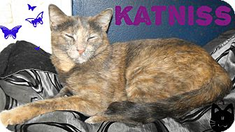Domestic Shorthair Cat for adoption in Hobart, Oklahoma - Katniss