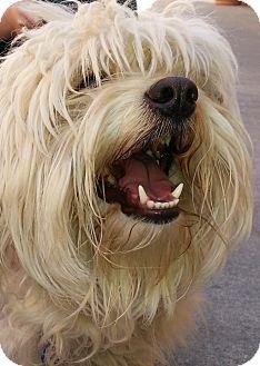 Wheaten Terrier/Poodle (Miniature) Mix Dog for adoption in Thousand Oaks, California - Miles