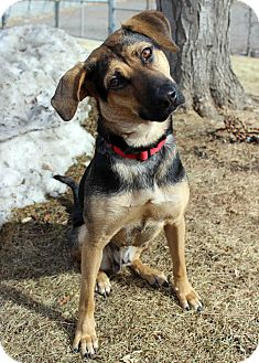 Shepherd (Unknown Type) Mix Dog for adoption in Westminster, Colorado - Natalie
