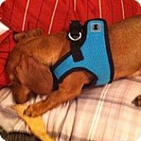 Adopt A Pet :: Bella - Vale, OR