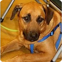 Shepherd (Unknown Type)/Mountain Cur Mix Dog for adoption in Key Biscayne, Florida - Cooper
