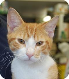 Domestic Shorthair Cat for adoption in Brooklyn, New York - Rhino