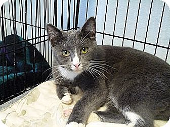 Domestic Shorthair Cat for adoption in Cottonport, Louisiana - Smokey