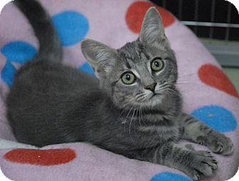 Domestic Shorthair Kitten for adoption in Winchendon, Massachusetts - Adora
