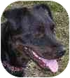 Rottweiler Mix Puppy for adoption in Eatontown, New Jersey - Isabelle