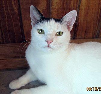 Domestic Shorthair Cat for adoption in Pasadena, California - Bailey