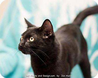 Domestic Shorthair Cat for adoption in Fountain Hills, Arizona - Kringle