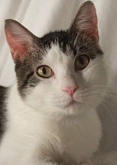 Domestic Shorthair Cat for adoption in Savannah, Missouri - Willoughby