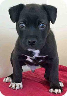 Labrador Retriever Mix Puppy for adoption in Gahanna, Ohio - ADOPTED!!!   Zero