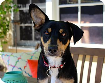 Manchester Terrier Mix Dog for adoption in Los Angeles, California - Izzi - Loves Kids!