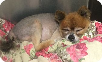 Pomeranian Mix Dog for adoption in Oak Ridge, New Jersey - Ernie
