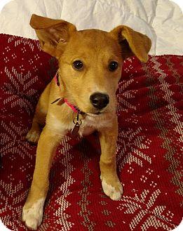 Labrador Retriever/Basenji Mix Puppy for adoption in Homewood, Alabama - Roseanna